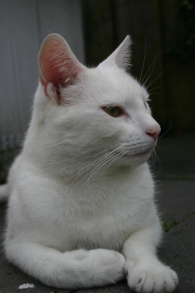 witte kat