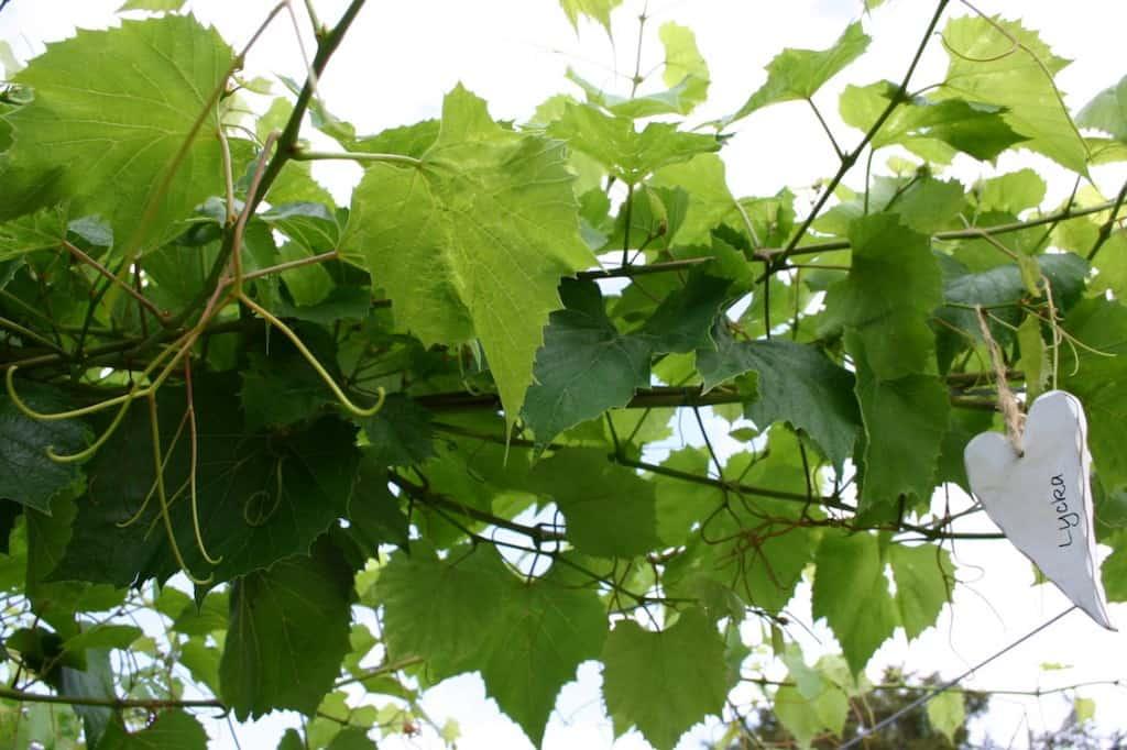 tuin druifjes