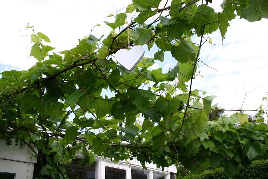 tuin druivenrank
