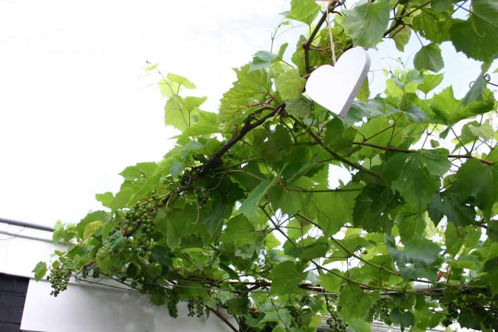 tuin druivenstreng