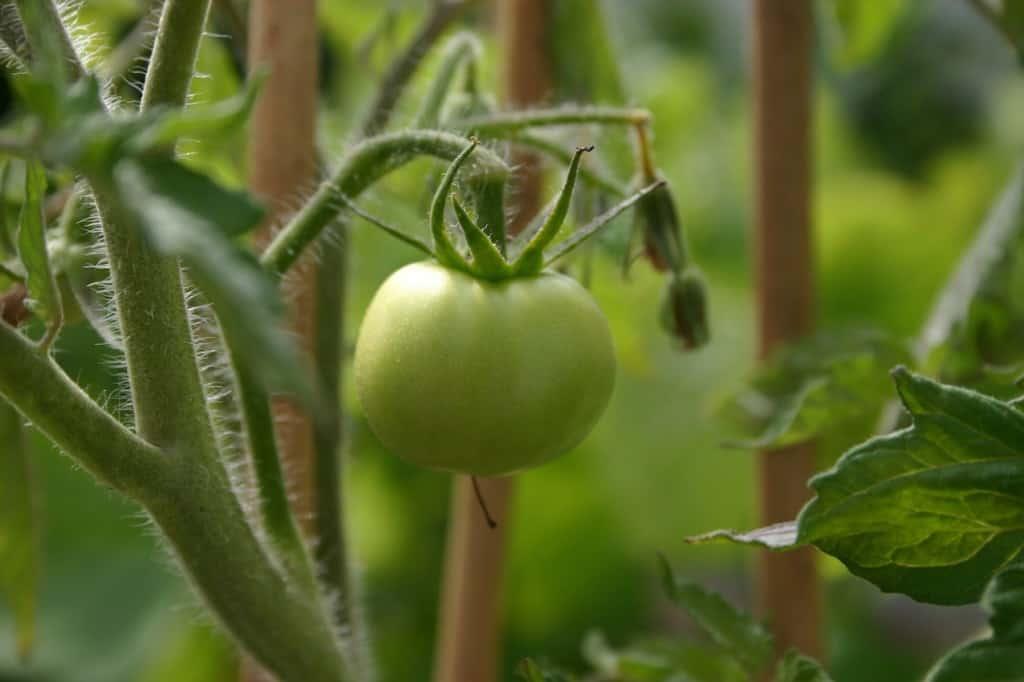 tuin tomaat