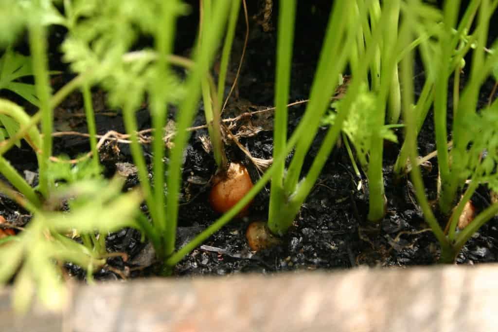 tuin wortel