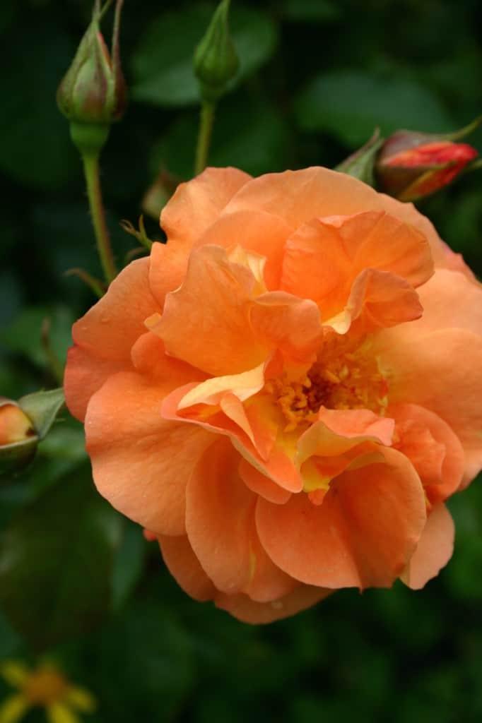 berkeley roos oranje
