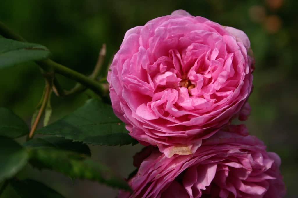 berkeley roos roze