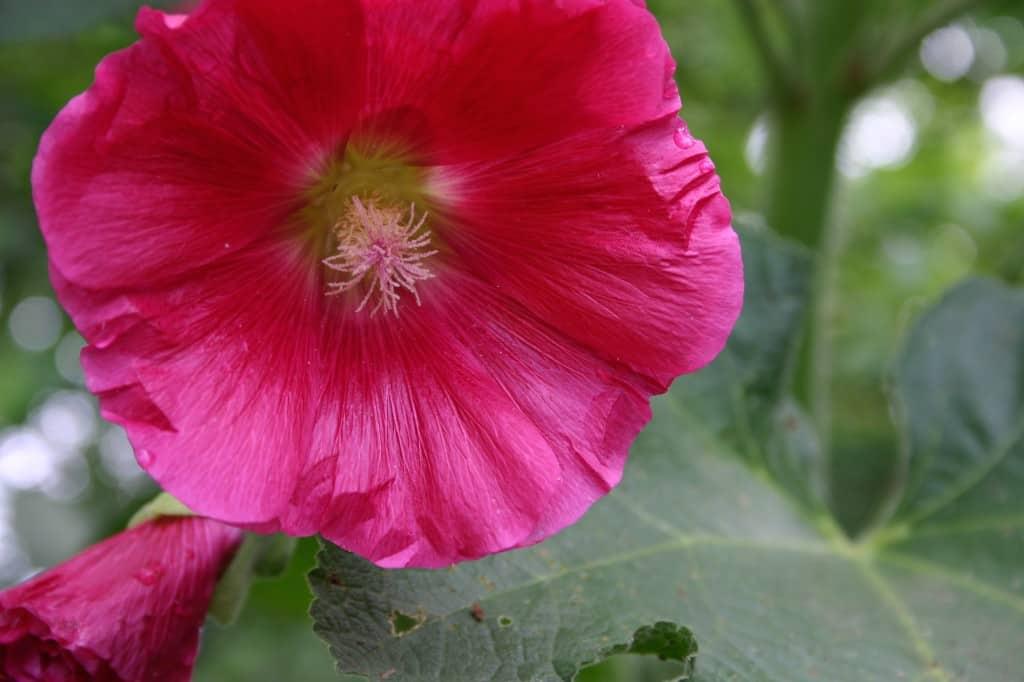 berkeley stokroos roze