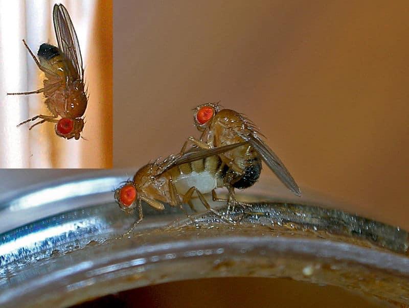 fruitvlieg parende