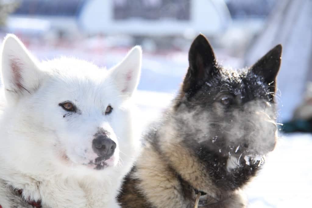 zweden honden