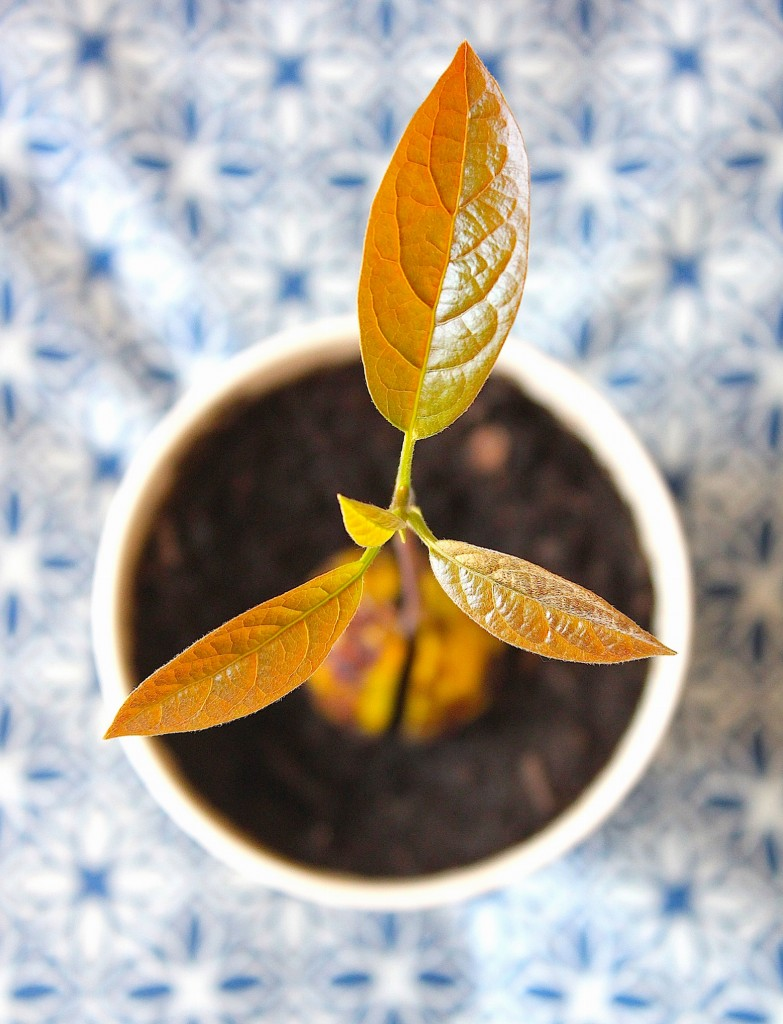 Kweek je eigen avocadoplant | ENJOY! The Good Life