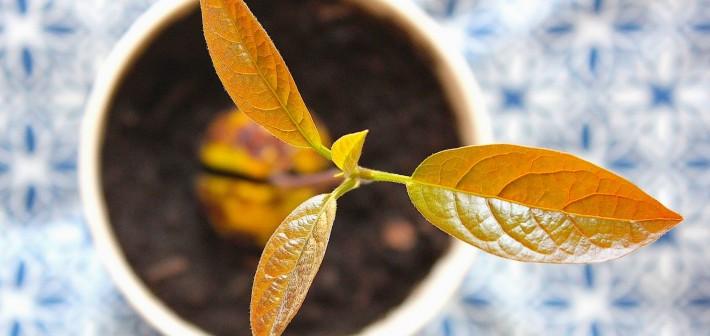 Kweek je eigen avocadoplant
