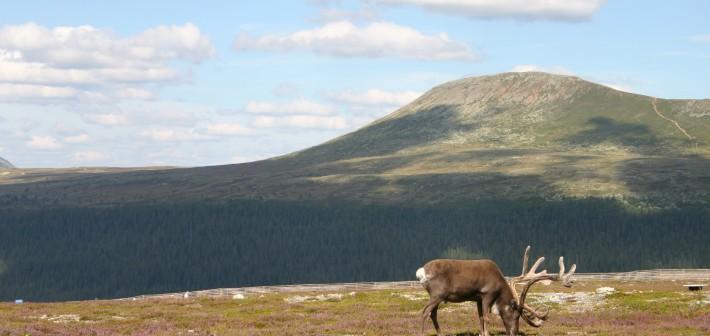 Rendieren en meer in Zweeds Dalarna