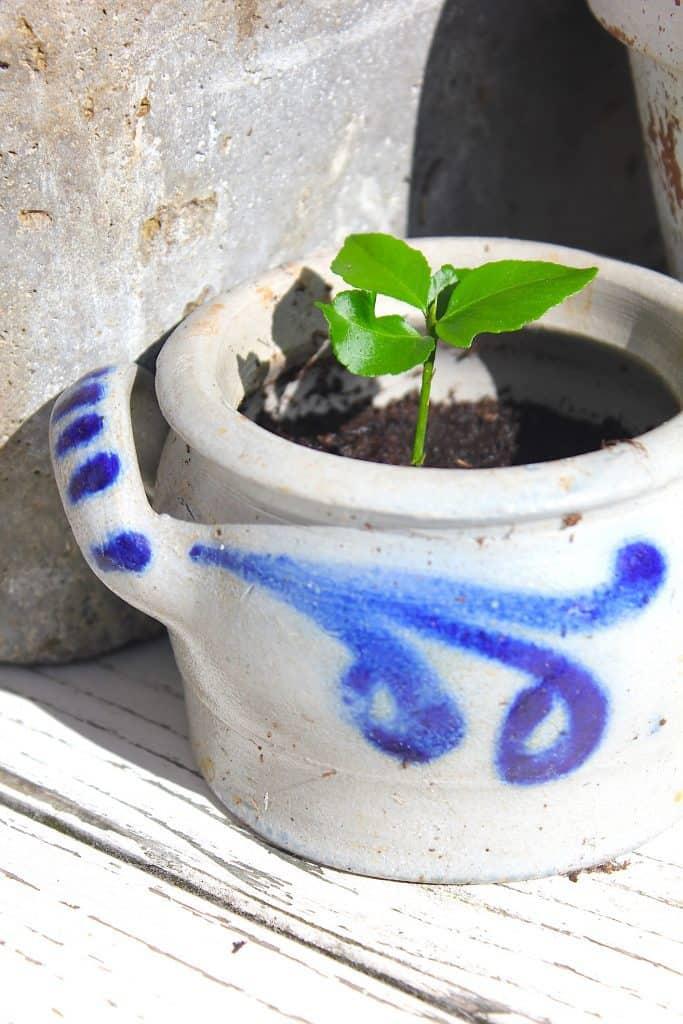 Citroenplantje kweken uit een pitje. Hoe dan? | ENJOY! The Good Life
