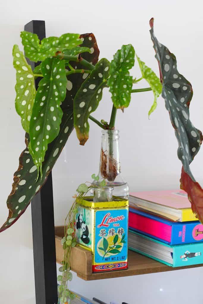 De stippenbegonia, een ouderwetse plant in een nieuw jasje | ENJOY! The Good Life