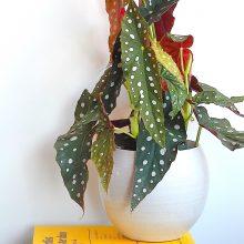 De stippenbegonia, een ouderwetse plant in een nieuw jasje